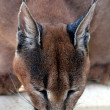 Caracal Lynx Drinking - Stock Photo
