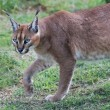 Caracal Wild Cat - Stock Photo