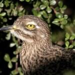 Spotted Dikkop Bird — Stock Photo