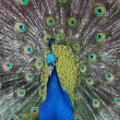 Peacock or Male Peafowl — Stock Photo