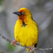 Stock Photo: Cape Weaver Bird Portrait