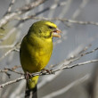 Stock Photo: Yellow Canary