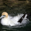 Northern Gannet Splashing — Stock Photo