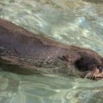 Cape Fur Seal — Stock Photo