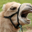 Stock Photo: Funny Camel
