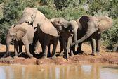 Elephants at Water Hole — Stock Photo