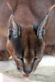 Caracal Lynx Drinking — Stock Photo