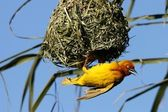 Yellow Weaver Bird at Nest — Stock Photo
