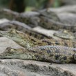 Young Crocodiles — Stock Photo #2280523