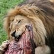 Male Lion Feast — Stock Photo