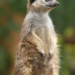Suricate or Meerkat — Stock Photo #2281233