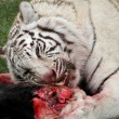White Tiger Eating - Foto Stock