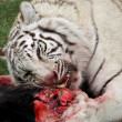 White Tiger Eating - Stok fotoğraf