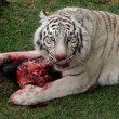White Tiger Feeding - Foto Stock