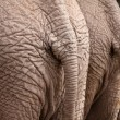 Stock Photo: Elephant Backsides