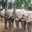 Stock Photo: Elephant Trio