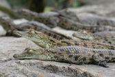 Young Crocodiles — Stock Photo