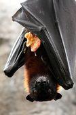 Fruit Bat with Food — Stock Photo