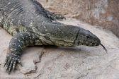 Komodo Dragon Lizard — Stock Photo