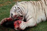 White Tiger Eating — Stock Photo