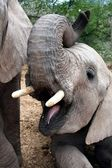 Elephant with Open Mouth — Stock Photo