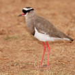 Crowned Plover Bird — Stock Photo