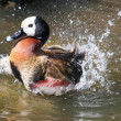 Bathing Duck — Stock Photo #2290634