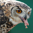 Spotted Eagle Owl Eating — Stock Photo
