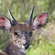 Bushbuck Infested with Ticks - Stock Photo