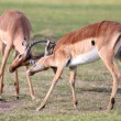 Fighting Impala Antelope — Stock Photo #2303935
