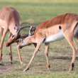 Fighting Impala Antelope - Stock Photo