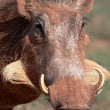 Warthog Portrait — Photo #2304709