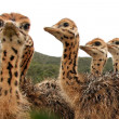 Ostrich Chicks — Stock Photo