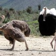 Stock Photo: Ostrich Breeding Pair