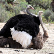 Mating Ostrich Birds — Stock Photo