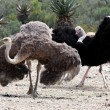 Ostrich Breeding Pair - Stock Photo