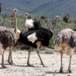Breeding Ostriches — Stock Photo