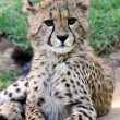 Young Cheetah Cat - Stock Photo