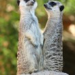 Meerkats or Suricates — Stock Photo