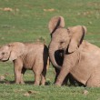 Baby Elephants Playing — Stock Photo