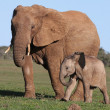 African Elephant Baby and Mom — 图库照片