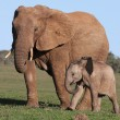 African Elephant Baby and Mom - Stock Photo
