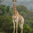 Giraffe Scratching — Stock Photo #2308120