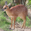 Grysbok Antelope - Stock Photo