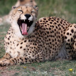 Cheetah Wild Cat — Stock Photo #2308622