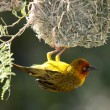 Cape Weaver Bird and Nest — Stock Photo