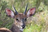 Bushbuck Infested with Ticks — Stock Photo