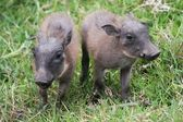 Cute Baby Warthogs — Stock Photo