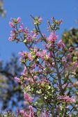 Spekboom in Bloom — Stock Photo