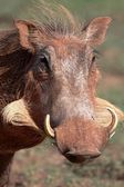 Warthog Portrait — Stock Photo